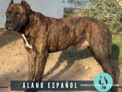 Alano Español Perro