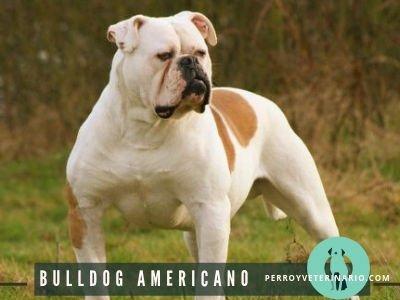 Bulldog Americano Perro