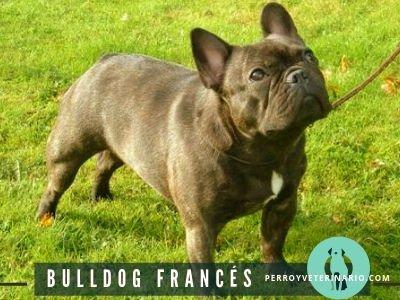 Bulldog Frances Perro