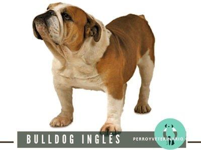 Bulldog Inglés Perro