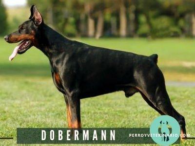 Dobermann Perro