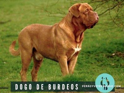 Dogo Burdeos Perro