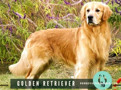 Golden Retriever Perro