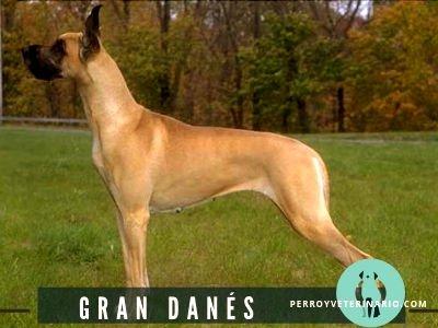 Gran Danés Perro