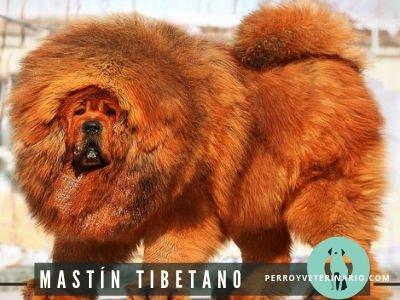 Mastín Tibetano Perro