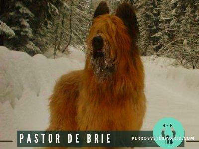 Pastor Brie Perro