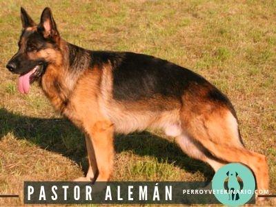 Pastor Aleman Perro