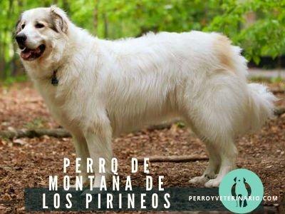 Perro de Montaña de los Pirineos