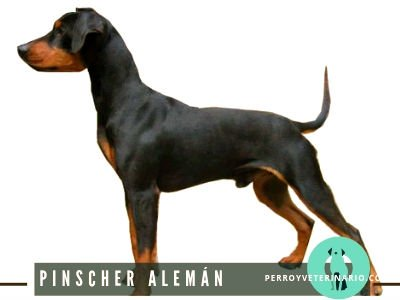 Pinscher Alemán Perro