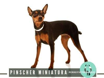 Pinscher Miniatura Perro