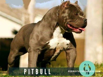 Pitbull Perro