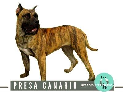 Presa Canario Perro