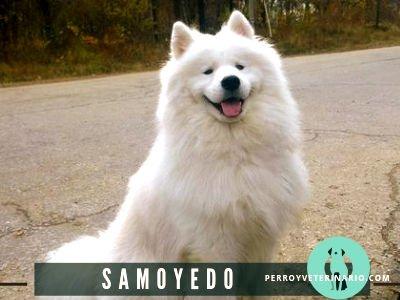 Samoyedo Perro