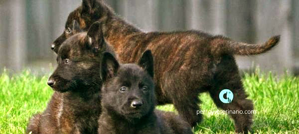 Dutch Shepherds cachorros
