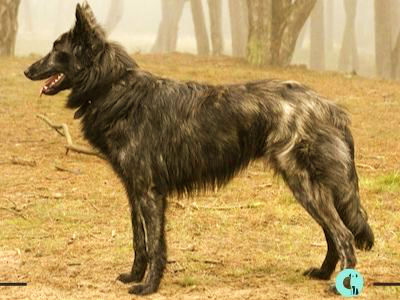 Dutch Shepherds comportamiento