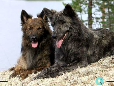 Dutch Shepherds orígenes