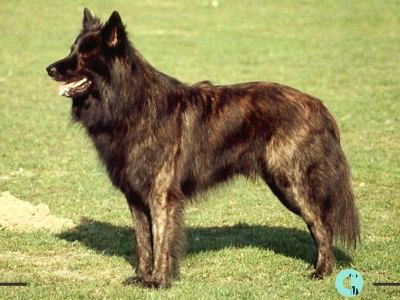 Dutch Shepherds pelo liso